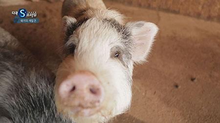 [다큐S프라임] - 돼지의 재발견